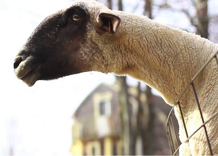 These Goats Yell Like Real Humans