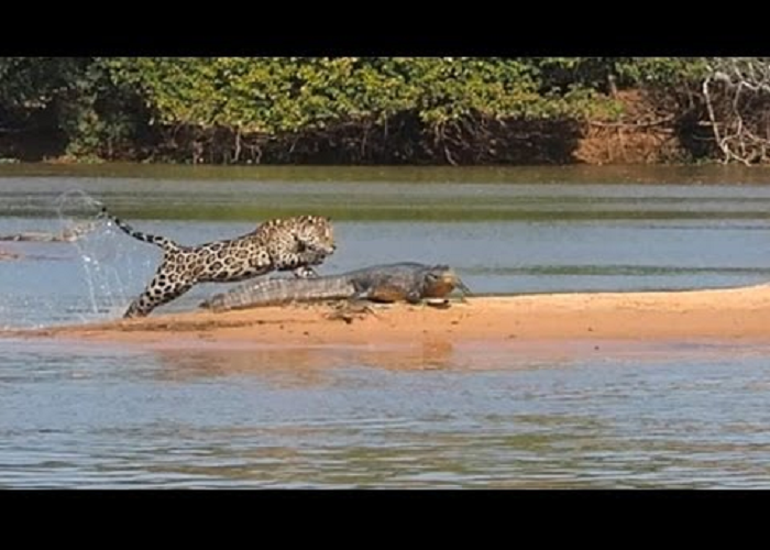 The Jaguar Attacks a Crocodile