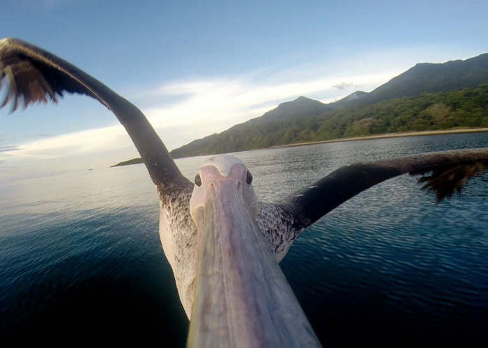 See How The Pelican Learns To Fly For The First Time