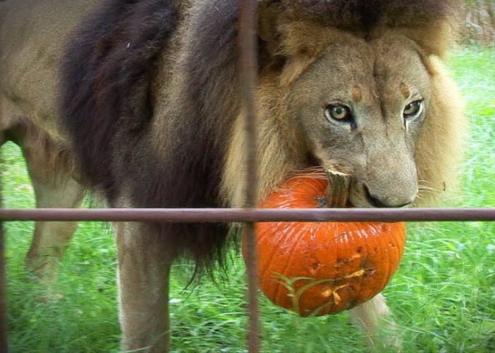 See How These Big Cats React To Pumpkins