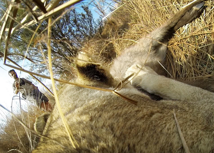 Lioness Hunts Down A Buck With A GoPro Camera On Her Back