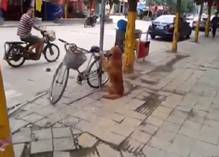 This Is The Best Dog Ever Guarding The Owner's Bike