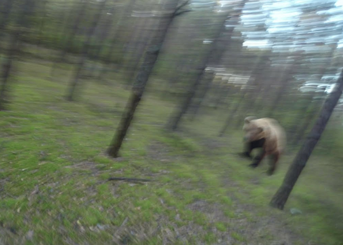 Watch This Man Trying To Run Away From An Attacking Bear
