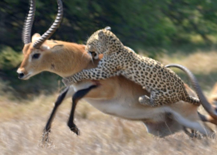 The Antelope Narrowly Escapes Death From Leopard Attack