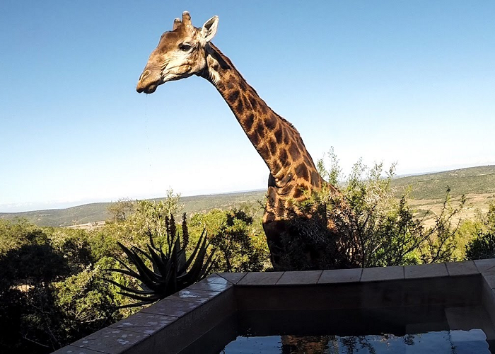 Look At This Giraffe Drinking From A Swimming Pool