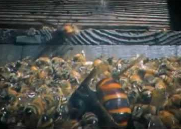 Look How 30 Giant Hornets Kill 30,000 Honey Bees In 3 Hours