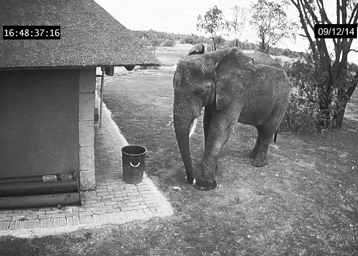 See This Elephant Cleaning Up The Trash