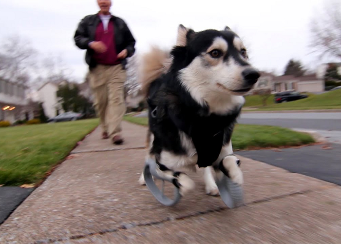 The Custom 3D Printed Prosthetics Allow The Dog To Run For The First Time