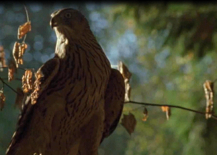 See How A Goshawk Flies At High Speed Through Dense Woodland