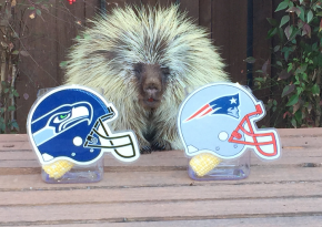 Can This Teddy Bear Accurately Predict The Winner Of The Super Bowl 2015?!