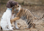 The Baby Tiger And Dog Are Really Best Friends