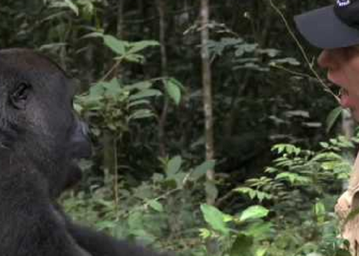 Gorilla Finds And Encounters The Man After 5 Years