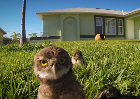 A Curious Pair Of Burrowing Owls Dance-Off