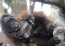 This Orangutan Scrubs Herself With Stolen Soap Bar