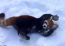 These Red Pandas Are Really Having Fun In The Snow