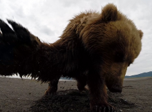 455-This-Grizzly-Bear-Does-Not-Seem-To-Be-Very-Excited-By-The-GoPro-Camera
